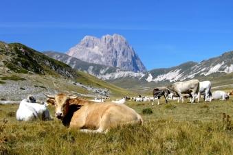 mucche-gran-sasso